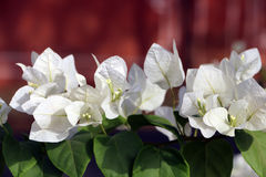 White Bougainvillea royalty free stock image
