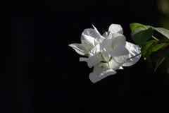 White Bougainvillea stock photography