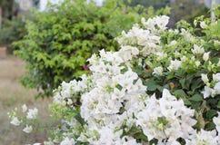White bougainvilleas. Stock Image