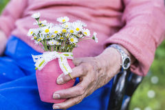 White bouquet of blooming daisies in senior woman's hands Royalty Free Stock Image