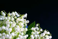 Free White Bouquet Small Flowers Of May Lily Of The Valley On A Black Background. Poisonous Fragrant Plant Convallaria Majalis. Royalty Free Stock Photos - 183884838