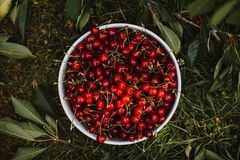 White bowl full of red sweet cherries royalty free stock images