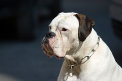 White boxer Royalty Free Stock Photos