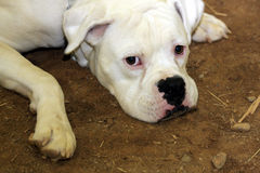 White Boxer bulldog. Closeup of a white Boxer Bulldog with it's chin resting on the ground in dirt, it's eyes looking upward toward the viewer Royalty Free Stock Photos