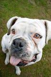 White boxer dog Stock Image