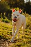 White Boxer dog with blue eye Royalty Free Stock Photo
