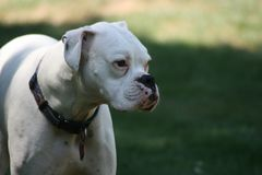 White boxer dog. White boxers are not accepted in the American kennel club Stock Photo
