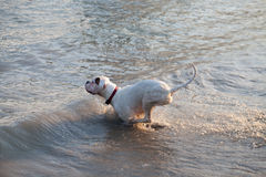 White boxer dog entering water Royalty Free Stock Image