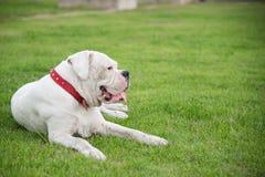 White boxer dog lying Stock Image