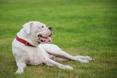 White boxer dog lying Royalty Free Stock Image