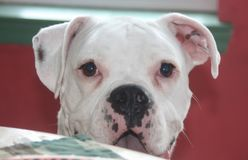 White boxer dog. S are not shown in AKC conformation Royalty Free Stock Photography