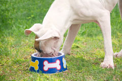 White boxer eating. White puppy boxer eating in the grass Stock Images