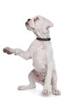 White boxer puppy Stock Images