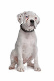 White boxer puppy Stock Photo