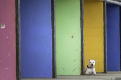 White boxer type dog infront of colourful seaside shelters Royalty Free Stock Photo
