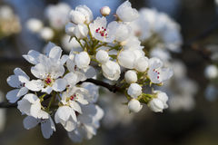 White Bradford Pear Blossoms. These are spring blooming Bradford Pear blossoms, Pyrus calleryana, also called Callery Pear trees. In the spring here in Alabama Stock Images