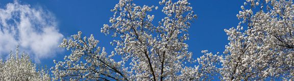 Tree Blooms Panorama. White Bradford Pear Tree Blooms in the Springtime Panorama stock photo