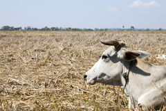 Brahma Cow in Dry Field. A white Brahma cow lays in a harvested, dry field on Ogre Island in southern Myanmar royalty free stock photo