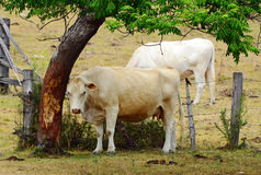White Brahman breed cow rubbing on tree trunk bark Stock Images