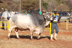 White Brahman bull lead by handler photo Stock Photos