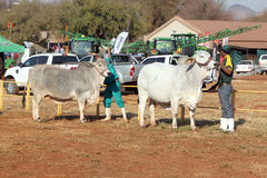 White Brahman bull lead by handler photo Stock Photo