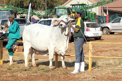 White Brahman bull lead by handler photo Stock Photography