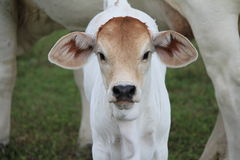 White Brahman Calf looking straight ahead with mother cow in background Stock Photography