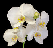 White branch orchid flowers with buds, Orchidaceae, Phalaenopsis known as the Moth Orchid. Royalty Free Stock Images