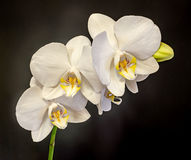 White branch orchid flowers with buds, Orchidaceae, Phalaenopsis known as the Moth Orchid. Stock Images