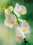 White branch orchid flowers with green leaves, Orchidaceae, Phalaenopsis known as the Moth Orchid, abbreviated Phal. Royalty Free Stock Image