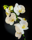 White branch orchid flowers with green leaves, Orchidaceae, Phalaenopsis known as the Moth Orchid, abbreviated Phal. Stock Image