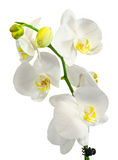White branch orchid flowers with green leaves, Orchidaceae, Phalaenopsis known as the Moth Orchid, abbreviated Phal. Stock Photos
