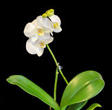 White branch orchid flowers, vase, flowerpot, Orchidaceae, Phalaenopsis known as the Moth Orchid, abbreviated Phal. White branch orchid flowers, vase, flowerpot royalty free stock photo