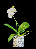 White branch orchid  flowers, vase, flowerpot, Orchidaceae, Phalaenopsis known as the Moth Orchid, abbreviated Phal. Stock Images