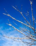 White branches. Against blue sky Stock Photography