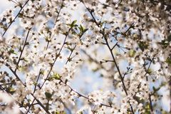 White branches of a flowering Apple tree against the blue sky. Flowering garden trees in the spring stock images