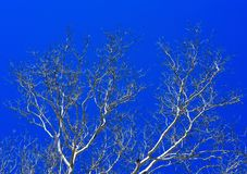 White branches of sycamore trees silhouetted against a blue sky Stock Images