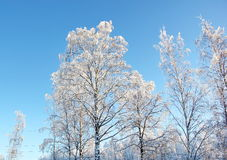 White branchy crowns of trees Royalty Free Stock Photography