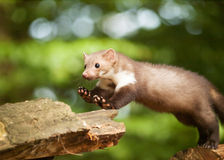White brasted marten jumping on wood - Martes foina Stock Images