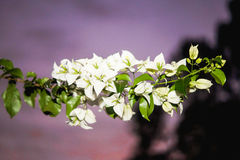 White Brazilian flower with leafs. Common flower in Brazil purple background Stock Image