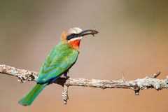 White-breasted Bee-eater in Zimanga GR stock photography