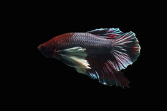 White-breasted brown-tailed eared fish. Stock Photo