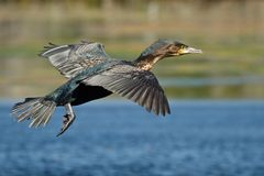 White-breasted Cormorant Royalty Free Stock Images