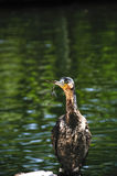 White breasted cormorant Stock Images