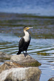 White-breasted Cormorant Stock Photography