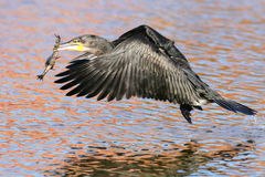 White breasted Cormorant Stock Photo