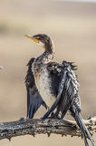 White breasted cormorant Royalty Free Stock Photos