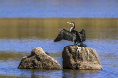 White-breasted Cormorant in Kruger National park, South Africa Stock Photos