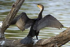 White-breasted Cormorant (Phalacrocorax carbo lucidus) Stock Images