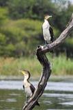 White-breasted Cormorant (Phalacrocorax carbo lucidus) Royalty Free Stock Photos